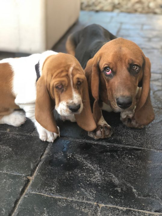 The cutest basset hounds